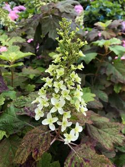 カシワバアジサイが開花