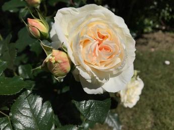 「マリー・アントワネット Marie Antoinette」が開花