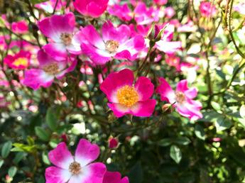 「安曇野 Azumino」が開花