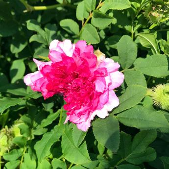 「八重咲きサンショウバラ」が開花