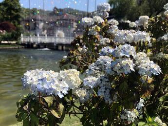 舞妓紫陽花(マイコアジサイ)が開花
