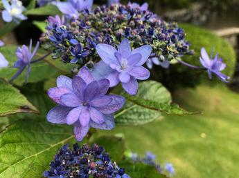 伊豆の華(イズノハナ)が開花