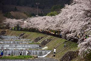 箱根宮城野 早川堤沿いの桜並木