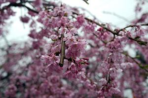 枝垂れ桜は、だいたい八分咲き