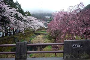 箱根宮城野、国道138号線沿いの桜