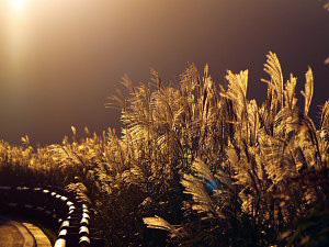 箱根・仙石原ススキ草原 2009年9月24日撮影