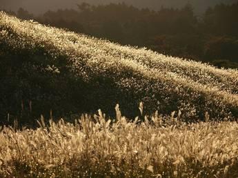 箱根仙石原すすき草原